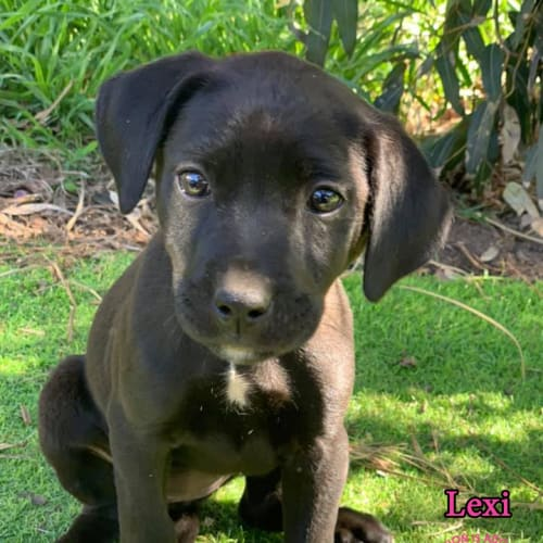 Lexi - Labrador Dog