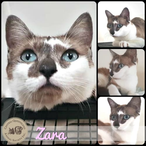 Zara - Siamese Cat