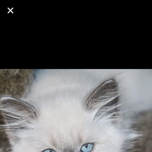 Ridge - Ragdoll Cat