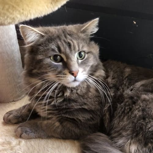 Oscar - Domestic Medium Hair Cat