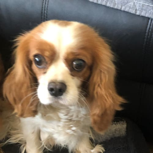 Coady - Cavalier King Charles Spaniel Dog