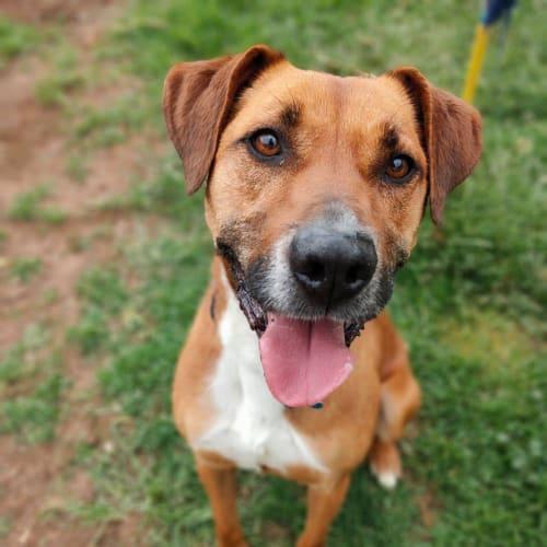 Kipper  - Boxer Dog