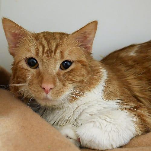 Spooks SUA004479 - Domestic Medium Hair Cat
