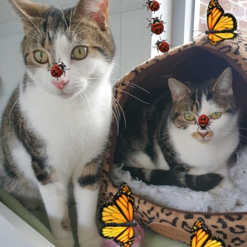 Jack and Jill - Domestic Short Hair Cat