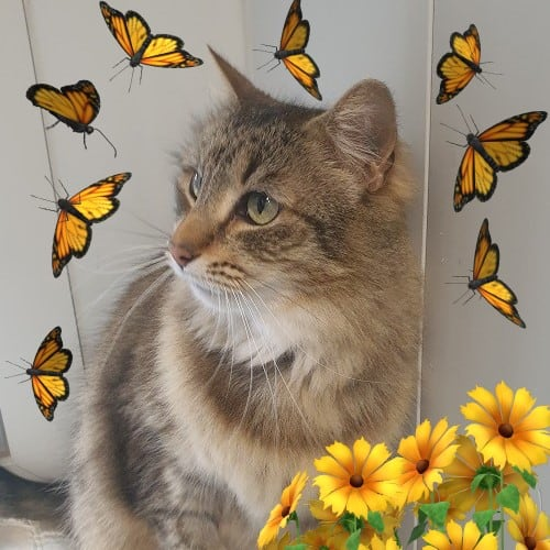 Penny - Domestic Medium Hair Cat