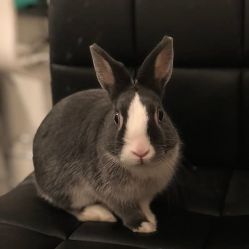 Moon - Netherland Dwarf Rabbit