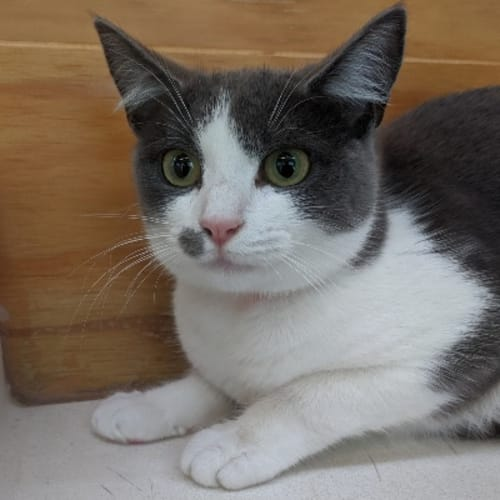 930208  Elizabeth - Domestic Short Hair Cat