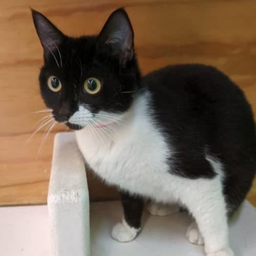930220 Rose - Domestic Short Hair Cat