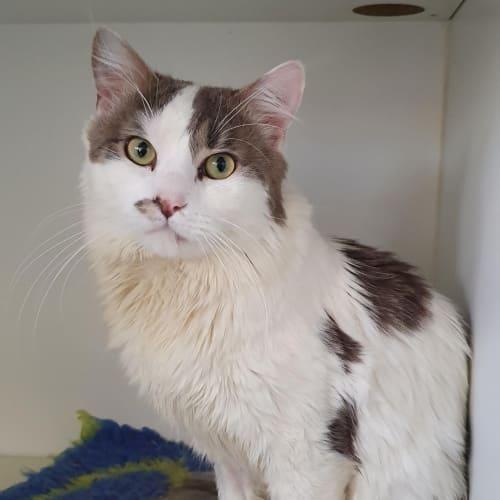 Xavier - Domestic Long Hair Cat