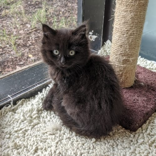 930317 Thornton - Domestic Medium Hair Cat