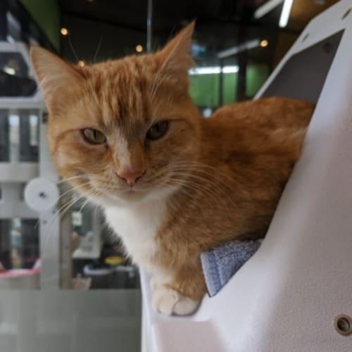 929990 Louise - Domestic Short Hair Cat