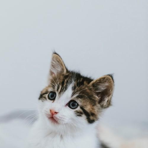 Edam  - Domestic Short Hair Cat