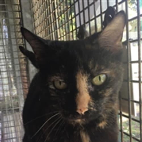 Weetbix - Domestic Short Hair Cat