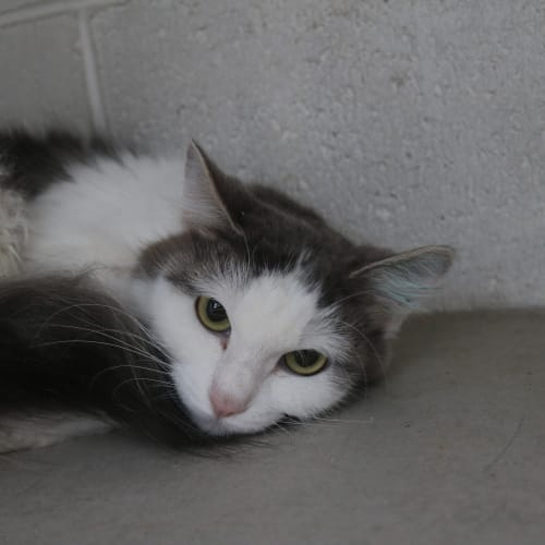 Ella 930072 - Domestic Medium Hair Cat