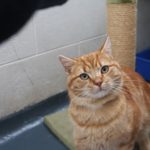 Harold 929902 - Domestic Short Hair Cat