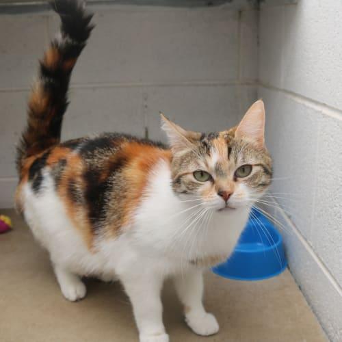 Hazel 925617 - Domestic Short Hair Cat