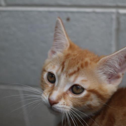 Luna 925676 - Domestic Short Hair Cat