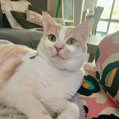 Prince Harry ❤ - Domestic Short Hair Cat