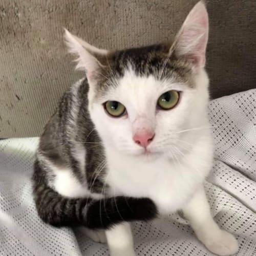 Pixie ❤ - Domestic Short Hair Cat