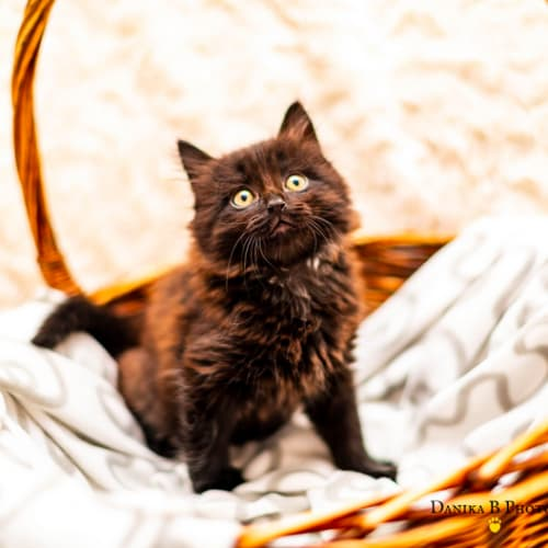 Chocolate SK4058 - Domestic Short Hair Cat