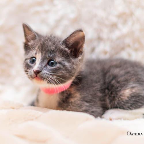 Daisy NK4061 - Domestic Short Hair Cat