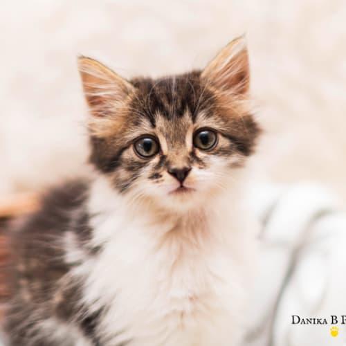 Isla NK4008 - Domestic Medium Hair Cat