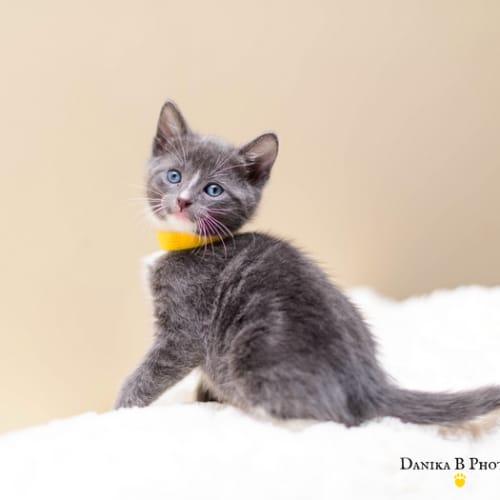 Rosalina NK4063 - Domestic Short Hair Cat