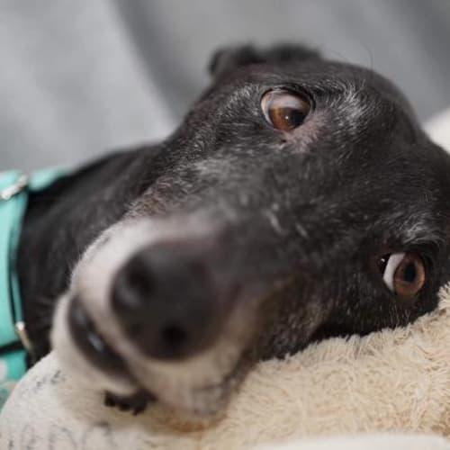Tim - Greyhound Dog