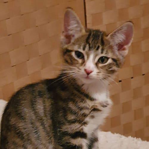 Tigger - Domestic Short Hair Cat