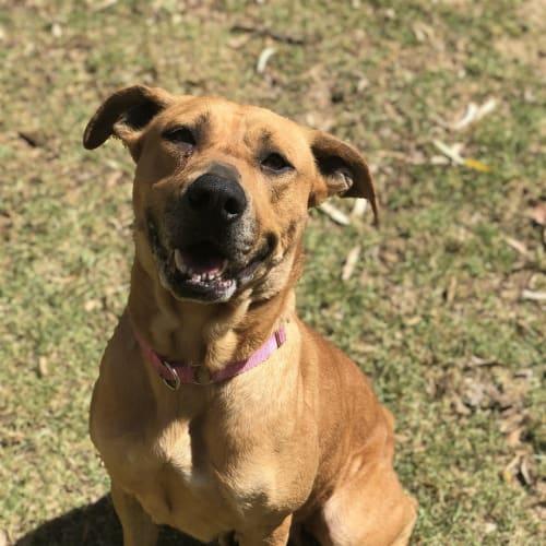Helga - Staffordshire Bull Terrier Dog