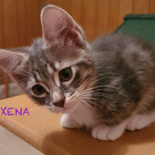 Xena - Domestic Short Hair Cat