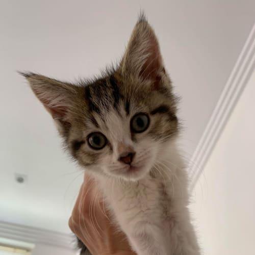 Wendy (aka Wednesday) - Domestic Short Hair Cat