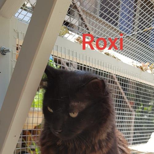 Roxi - Domestic Medium Hair Cat