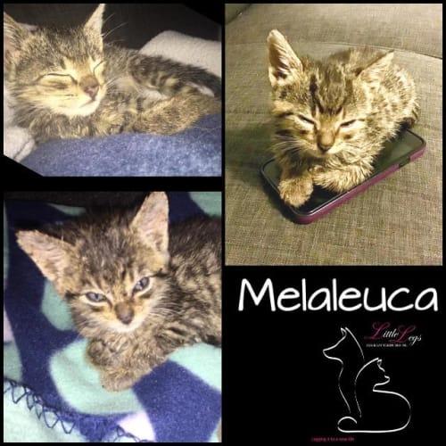 Melaleuca - Domestic Short Hair Cat