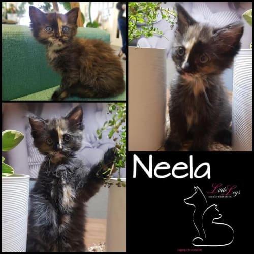 Neela - Domestic Medium Hair Cat