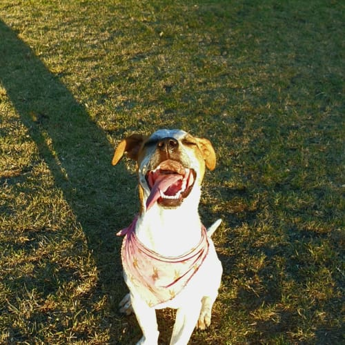 Funny miss Clover!  - Australian Cattle Dog x Dachshund x Staffy x Jack Russell Terrier Dog