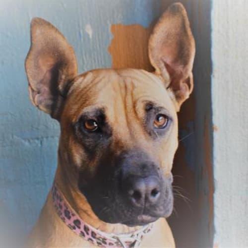 Lexi 930461 - Staffordshire Bull Terrier x Rhodesian Ridgeback Dog