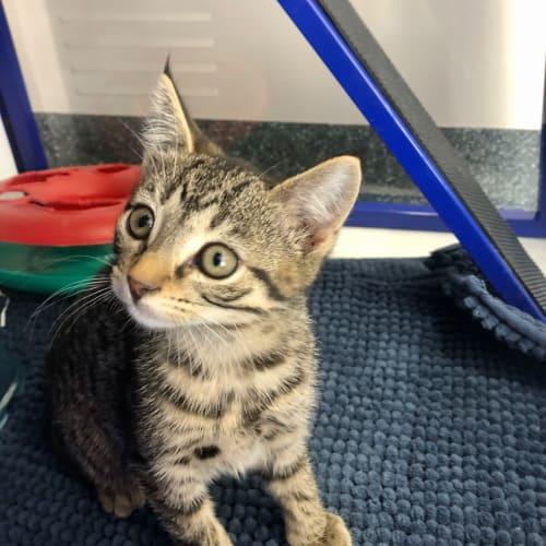 Ash - Domestic Short Hair Cat