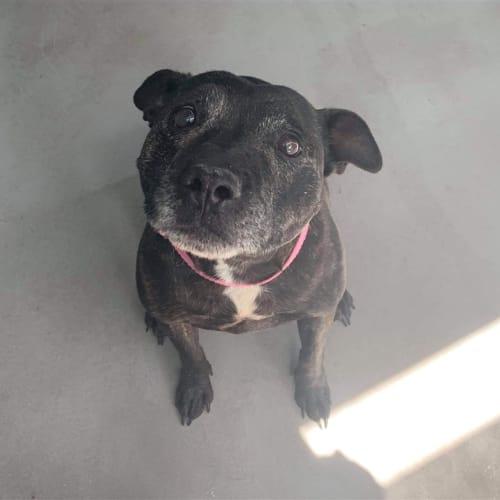 Eliza - Staffordshire Bull Terrier Dog