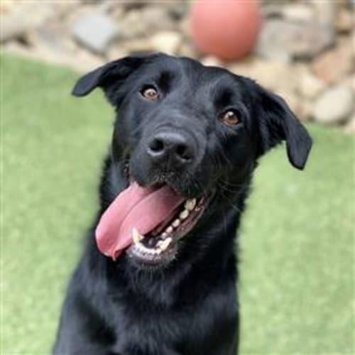 Jaffa  930605 - Kelpie x Labrador Dog