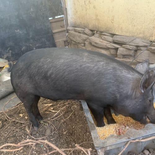 Macon -  Pig