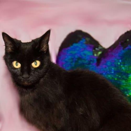 Bubbles - Domestic Long Hair Cat