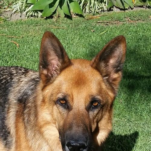 Rex - German Shepherd Dog