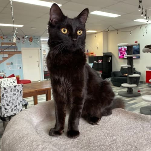 Sooty - Meet me at Pet Stock Mitcham - Domestic Short Hair Cat
