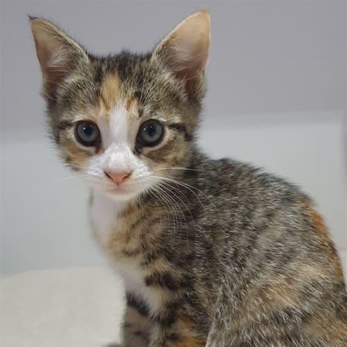 Rosie - Dsh Cat