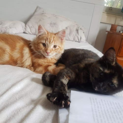 Hamlet & Rosalind - Domestic Short Hair Cat