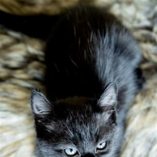Jazz - Domestic Short Hair Cat