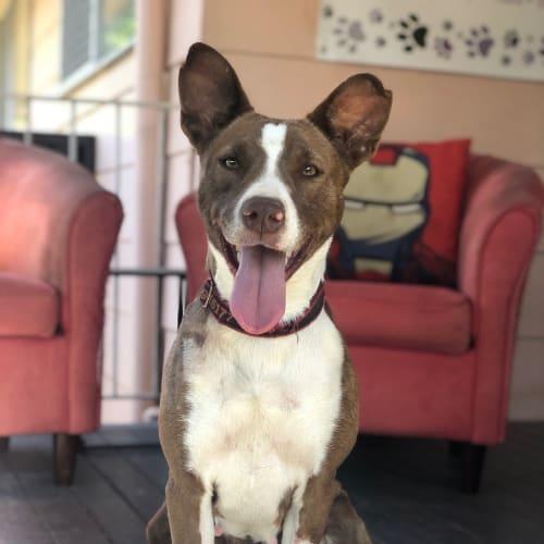 Rhea - Kelpie x Border Collie Dog