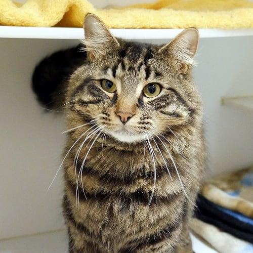 Keanu SUA004521 - Domestic Medium Hair Cat