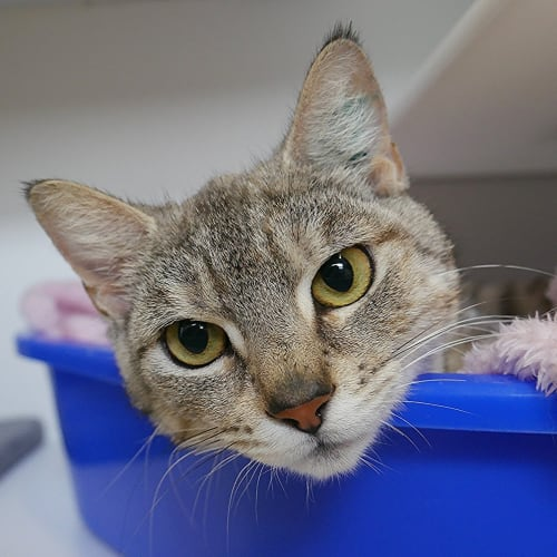 Mindy SUA004523 - Domestic Short Hair Cat